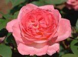 rose_liv_tyler