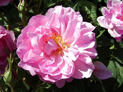 rose_centifolia